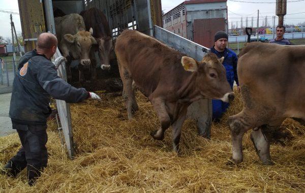 Оформление крупного рогатого скота